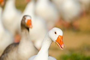 White goose portrait