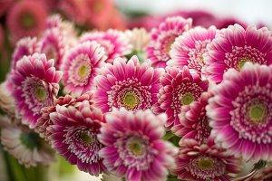 Pink and white gerberas