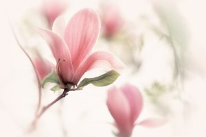 Beautiful close up magnolia flower