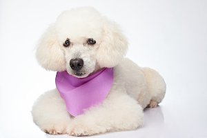 Isolated white poodle dog