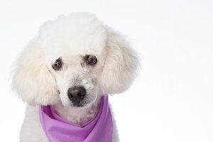 Portrait of white poodle dog