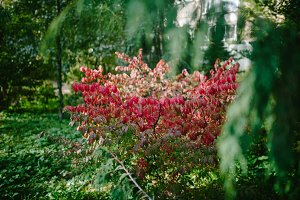Red leaves on the Bush fall