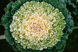 Decorative cabbage Green