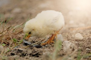 Baby Yellow Chick