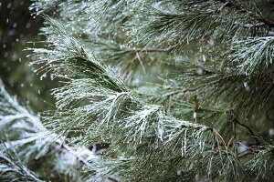 Close up of pine branch on a snowing day. Winter background with