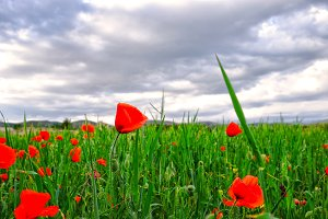 Poppies at fields