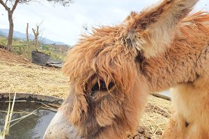 Little donkey drinking water