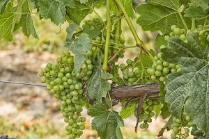 White grapes hanging in a vineyard