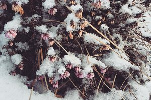 Pink Flowers in the snowy Winter