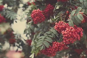 Rowan berries, background