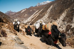 Yaks carry cargoes