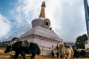 Yaks near buddhist stupa