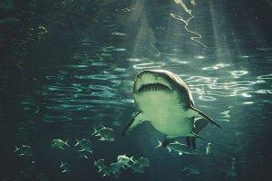 Sand Tiger Shark 2X