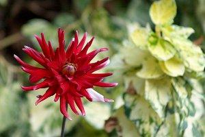 Pretty red dahlia in the garden