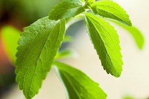 Fresh Stevia - Sweet alternative