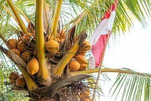 Indonesian Flag on coconut palm. Red and White. Bali island, Indonesia.