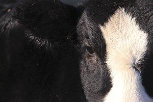 Baldy Cow Face