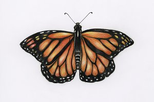 Hand drawn watercolor of butterfly