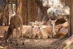 Deer herd.