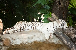 Sleeping tiger.