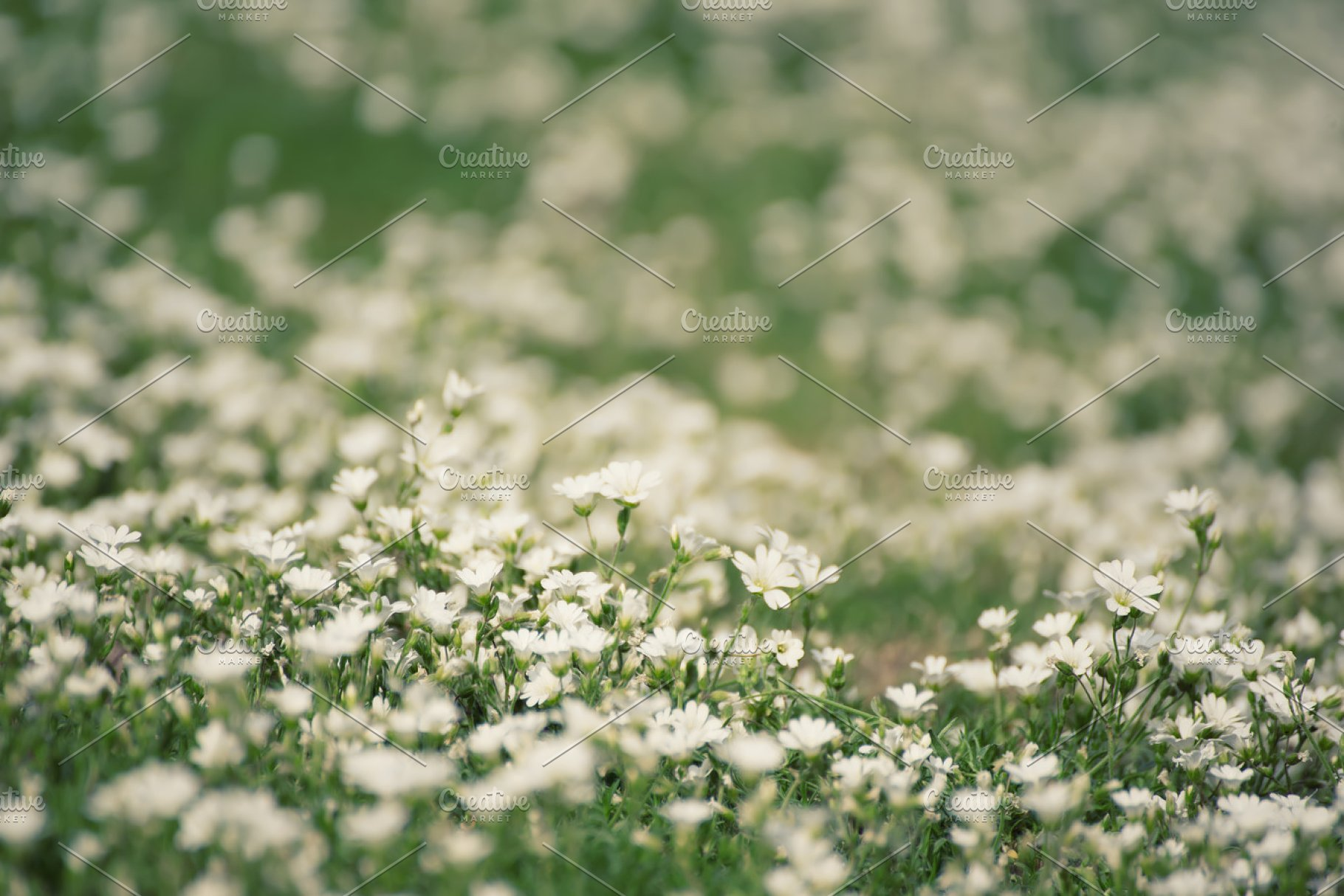 White Spring Flowers High Quality Nature Stock Photos Creative