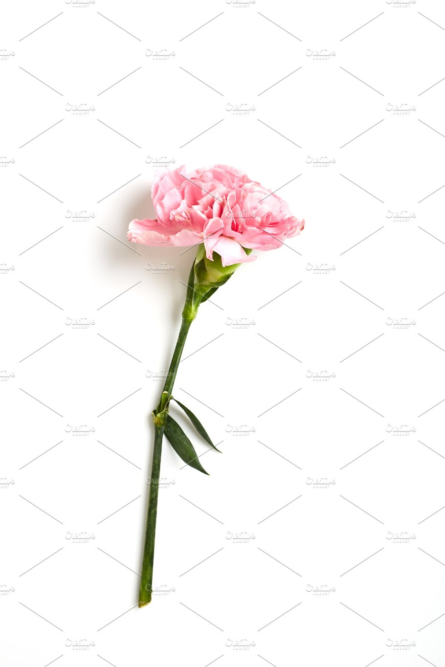 Pink Carnation Flower On White Background Nature Photos Creative