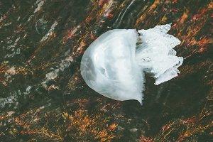 Sea Jellyfish underwater
