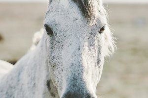White Horse Animal portrait close up