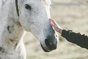 White Horse head hand touching