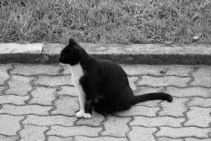 black and white domestic cat