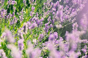 wild lavenders in the field, a sunny day