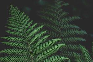 Dark Forest Fern