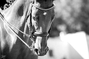 Dressage horse head close up