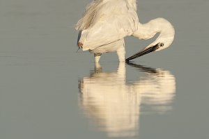Egretta garzetta reflection