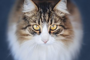 the fluffy cat looks in a lens
