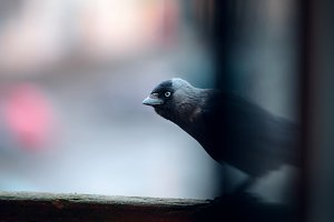 jackdaw looks at the camera