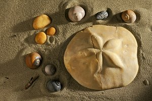 sea urchin fossil with seashell