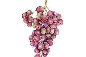 Hand drawn watercolor of grape (PNG)