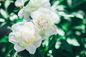 Tinted photo of white peonies in summer garden