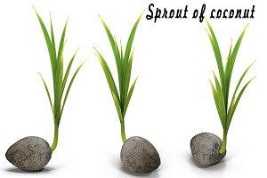 Sprout of coconut