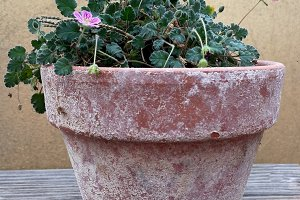 Clay pot with small pink flowers