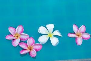 Plumeria frangipani flower in pool