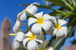 Plumeria frangipani flower tree