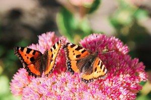 Two butterflies