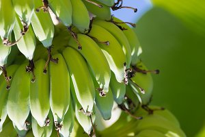 Banana fruits on a tree