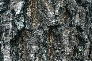 The bark of a tree, a background of a close-up of a birch, autumn is spring.