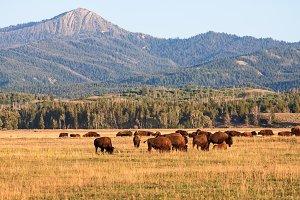 Bison Herd in the Tetons