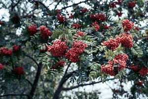 Ripe berries of mountain ash, grow on a tree, autumn red berries, close-up, vintage style in park.