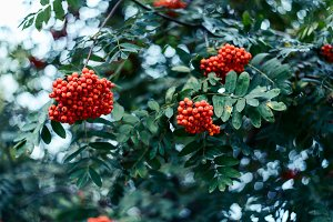 Ripe berries of mountain ash, grow on tree, autumn red berries, close-up, vintage style in a park.