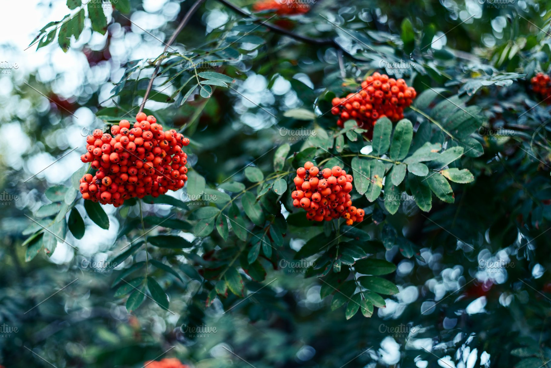 Ripe Berries Of Mountain Ash Grow On Tree Autumn Red Berries